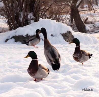 Anatre sul Lago Piccolo. Neve.