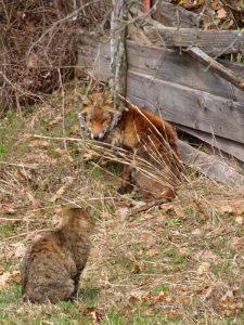 volpe e gatto