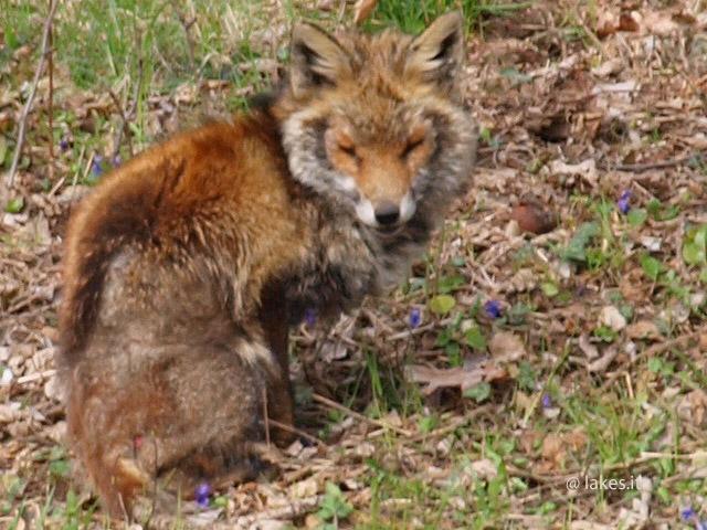 Volpe ammalata nel Parco Naturale dei Laghi di Avigliana?